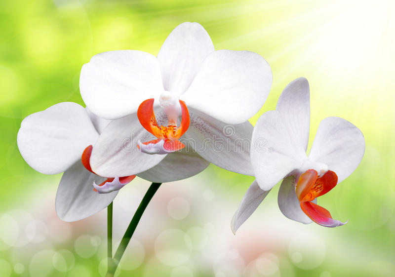 White orchid. On green natural background royalty free stock photo