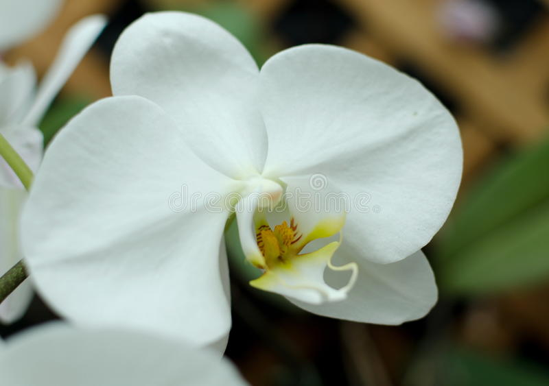 White Orchid in Hawaiian garden. White Phalaenopsis Orchid in Hawaiian garden near Volcano State Park stock images
