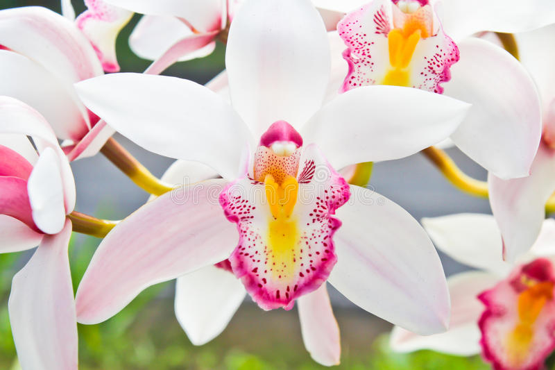 Download White Orchid Petals In The Garden Stock Photo - Image: 83700040