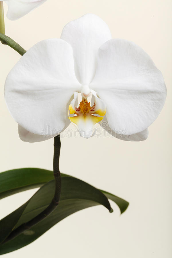 White orchid - phalaenopsis flower closeup royalty free stock photo