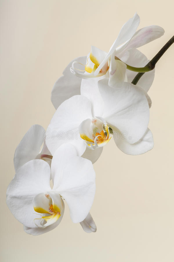 white orchid - phalaenopsis flower closeup stock photo