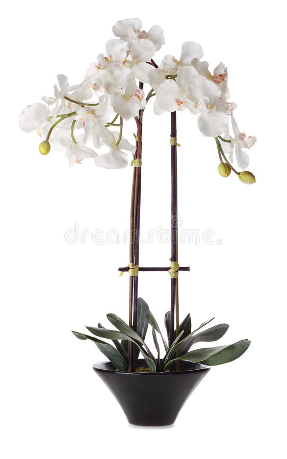 White Orchid in Pot. Isolated on White Background royalty free stock image