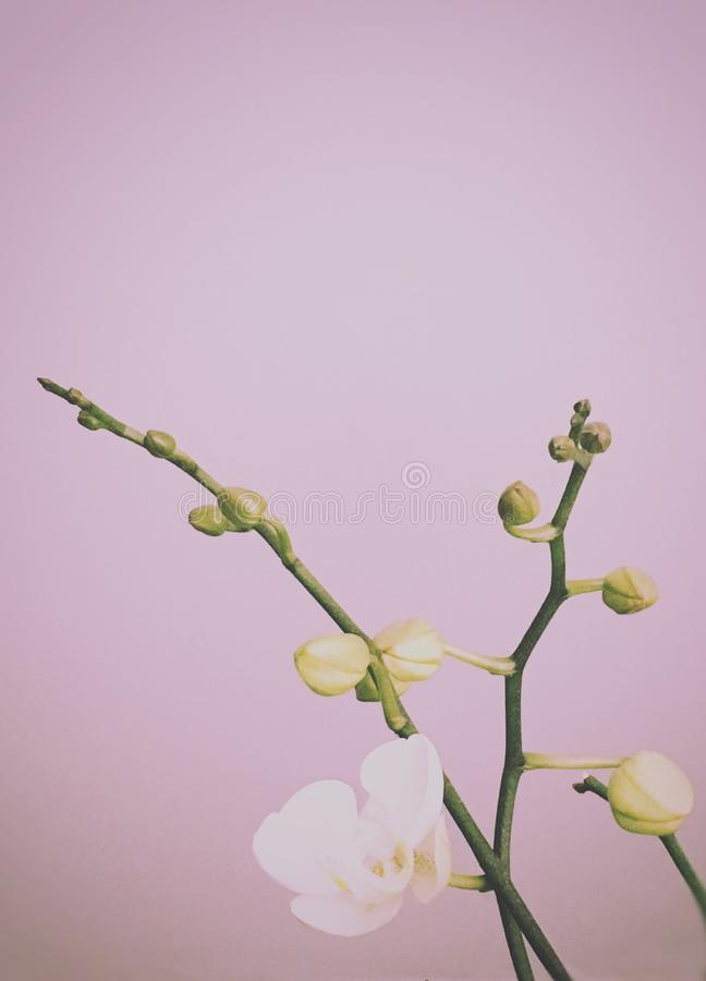 White orchid in spring time royalty free stock image