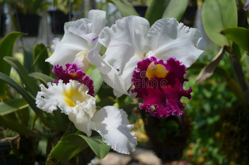 White Orchid in the tropical garden. So wonderful White Orchid  i saw in the tropical garden Nong Nooch,  Thailand. its really very beautiful flowers royalty free stock photos