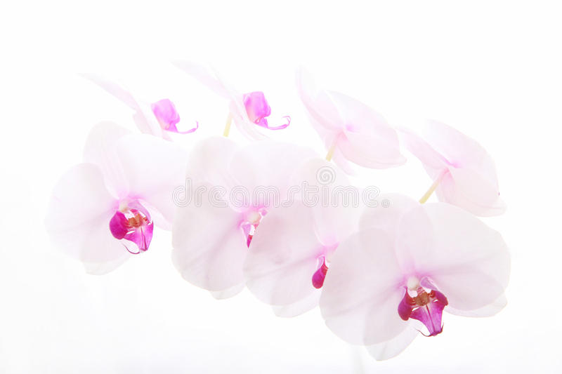 White orchid in white royalty free stock image