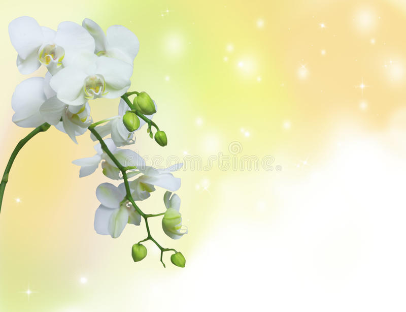 White orchid on yellow background royalty free illustration