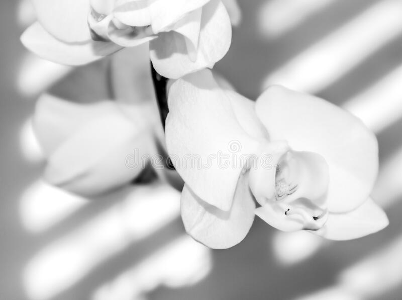 White orchide flower closeup. Beautifull orchid flower. black and white. Nature flower stock photo