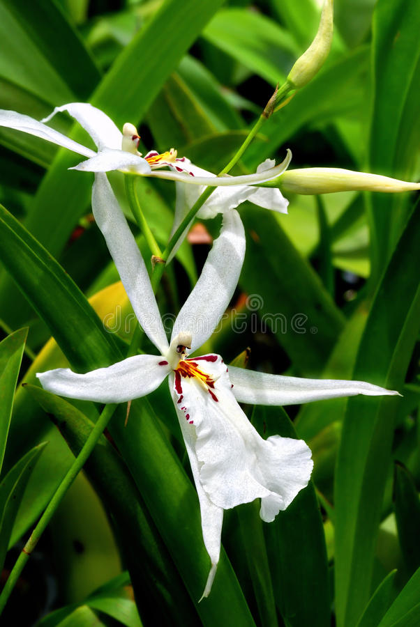 Free White Orchids Stock Photos - 10543163