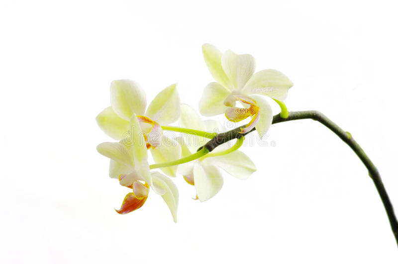 White orchids stock image