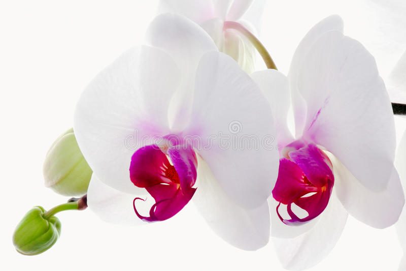 Download White Orchids stock photo. Image of isolated, flower - 12581686