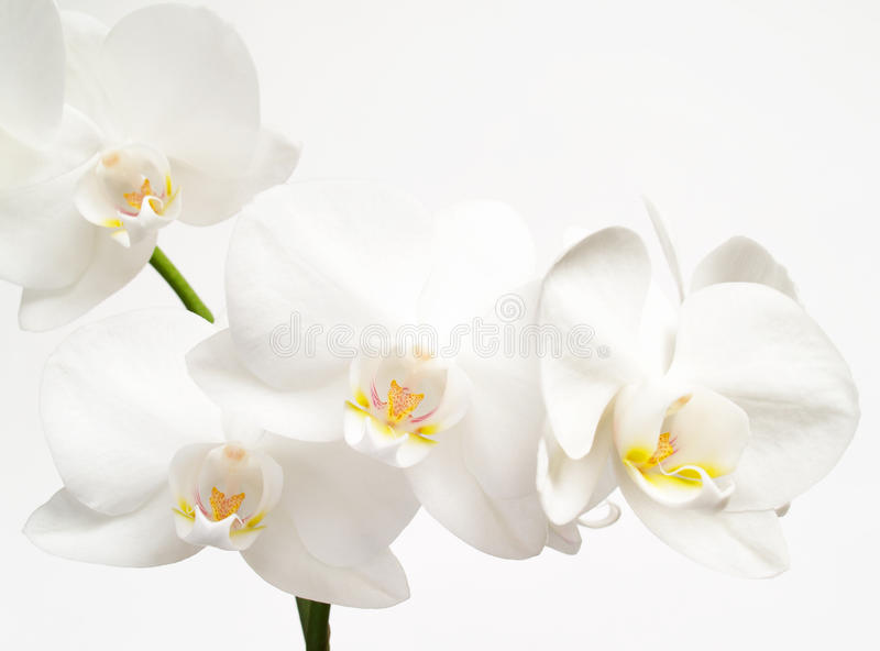 Download White orchids stock image. Image of flower, plant, isolated - 13199011