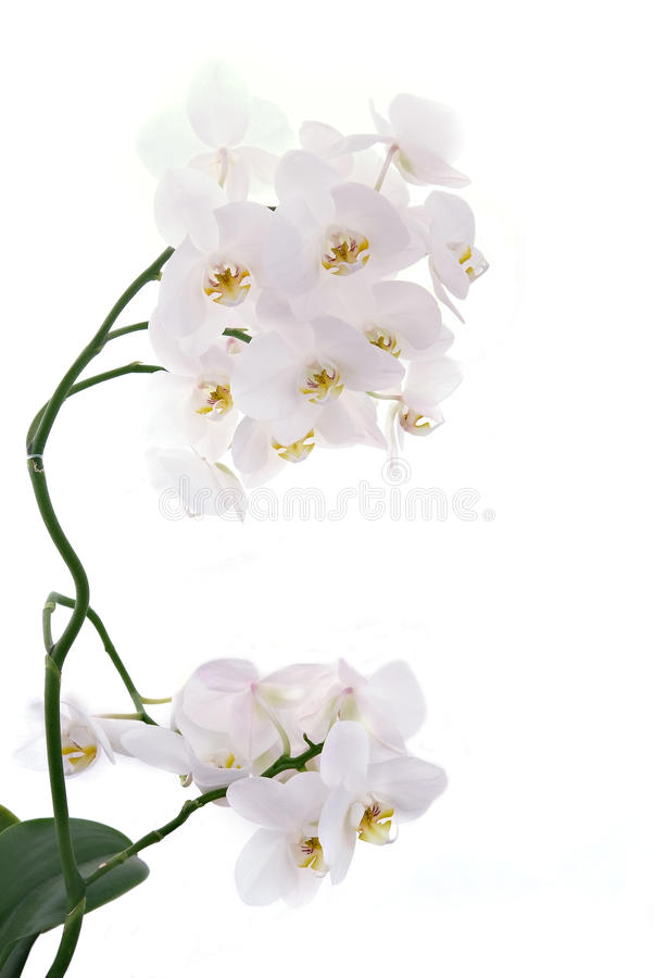 White orchids. Isolated close-up shot royalty free stock image