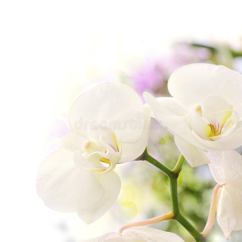 White Orchids Blur Background Stock Images