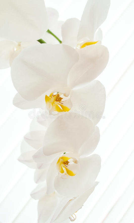 Download White Orchids On Light Background. Stock Image - Image: 33841429