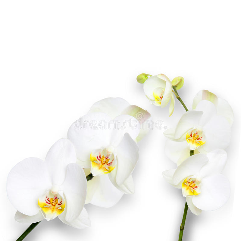 White orchids on white background. For greetings and banners royalty free stock photo