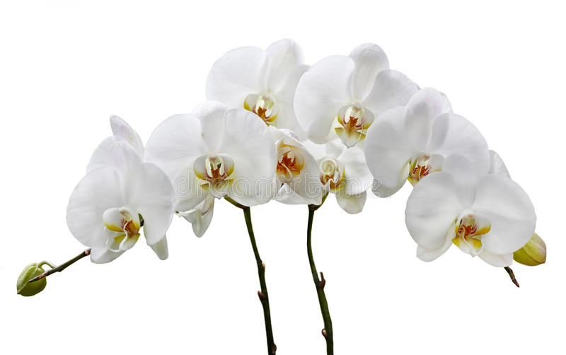 White orchids on a white background stock photography