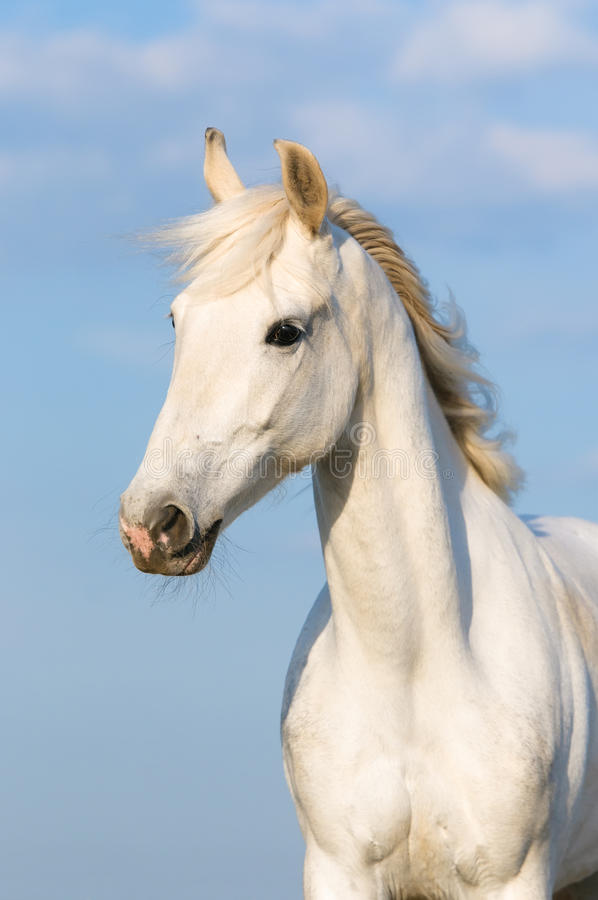 White Orlov trotter horse on the sky background