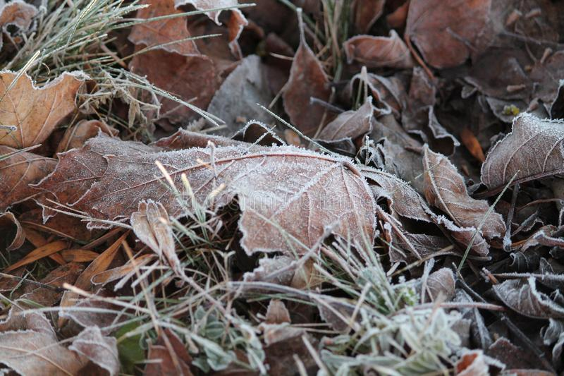 Frost on leaf. White ornament from shine frost on maple leaf in cold winter morning stock photography