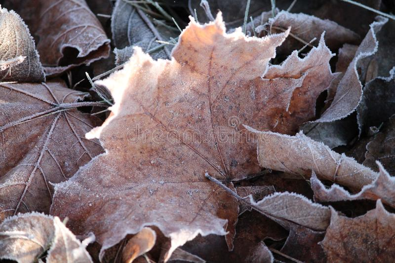 Frost on leaf. White ornament from shine frost on maple leaf in cold winter morning stock image