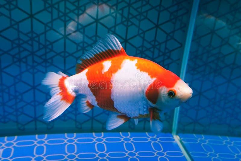 White ornamental fish in aquarium stock images