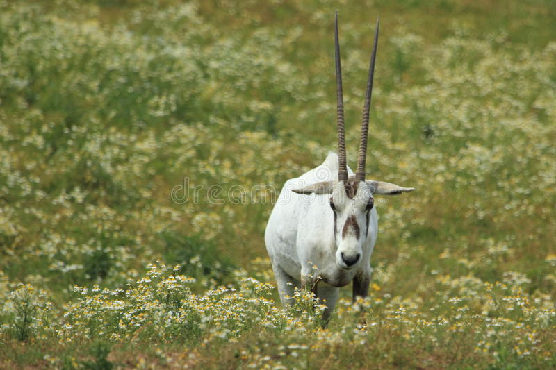 Download White oryx stock image. Image of arabian, adult, horn - 25215725