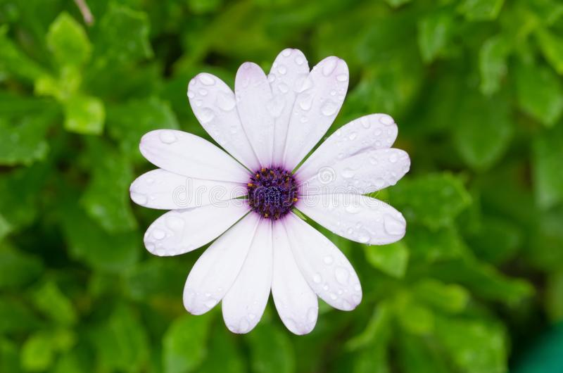 White Osteospermum African Daisy royalty free stock photos