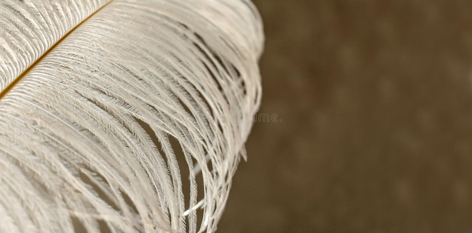 White ostrich feather close-up on a blurry background. Feather texture. Copy space. White ostrich feather close-up on a blurry background. Copy space royalty free stock photography