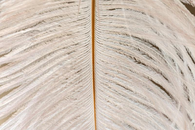 White ostrich feather close-up. Feather texture. Ostrich feather close-up. Feather texture royalty free stock images