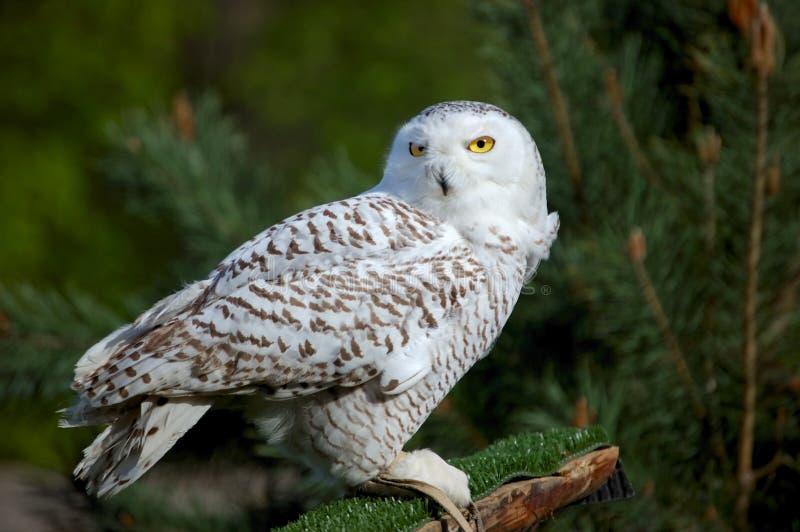White owl royalty free stock image