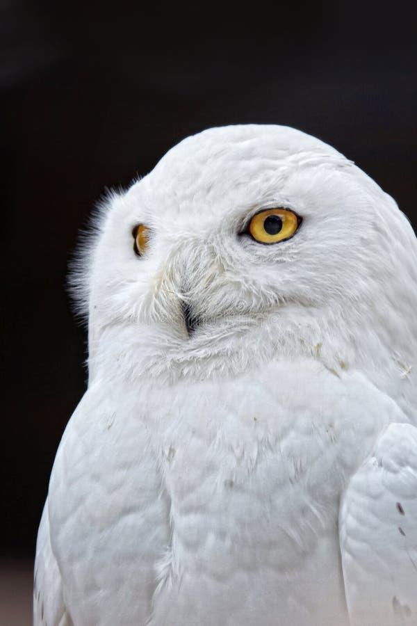 White Owl Free Public Domain Cc0 Image