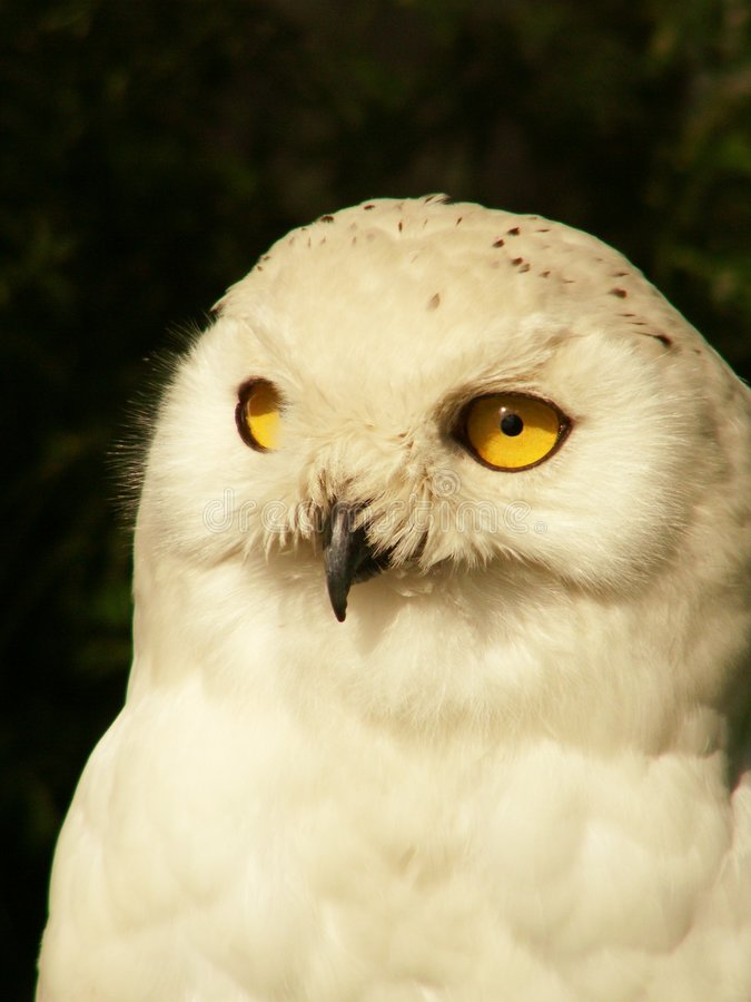 White owl royalty free stock images