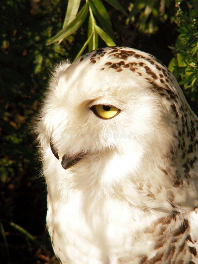 White owl royalty free stock photo