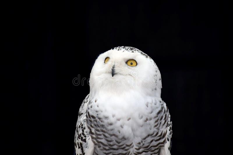 White Owl Nyctea Scandiaca stock photos
