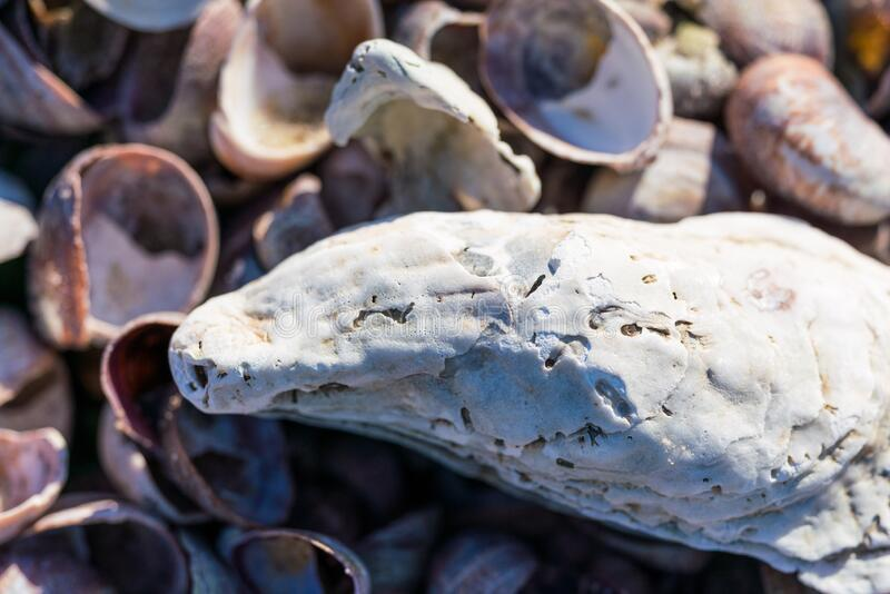 White oyster shell bleached. White oyster shell close up texture of a bleached empty dead husk of this mollusk. Cracked white surface laying against sea snail stock photo