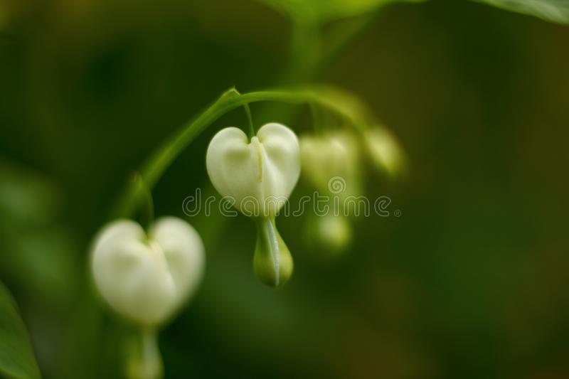 White pacific bleeding heart flowers. Soft defocused macro shoot. Floral concept stock images