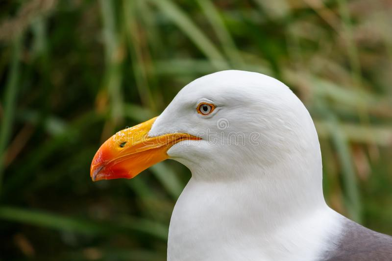 White pacific seagull Close Up head portrait royalty free stock photography