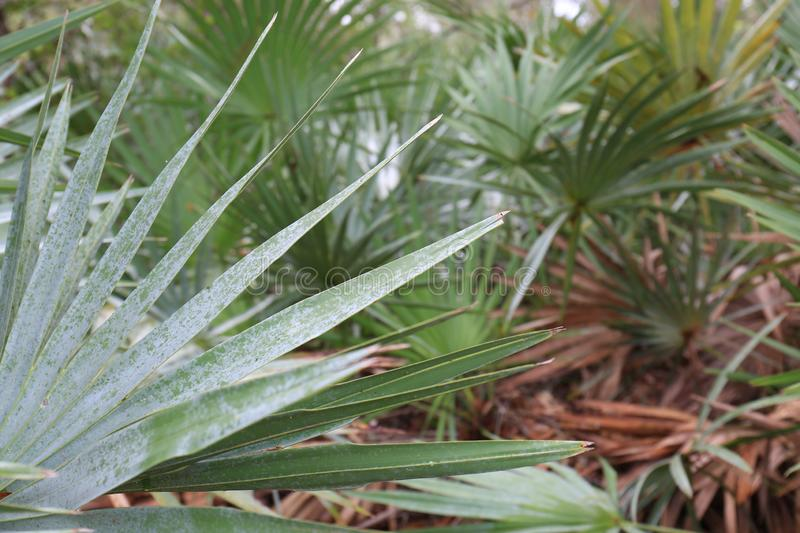 White Palmetto Palm Leaves with Blurred Background. A white Palmetto palm with the background blurred a bit. This picture is great for all thirds to create text stock photo