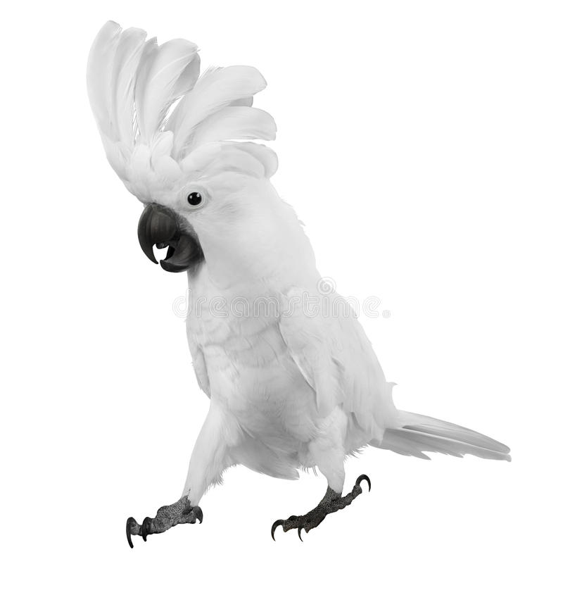 White Parrot. With white feathers on a head royalty free stock photography