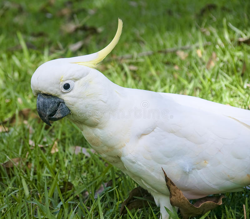 White parrot from Australia royalty free stock image