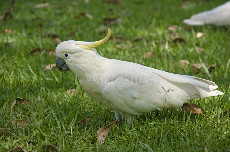 White parrot from Australia royalty free stock photos