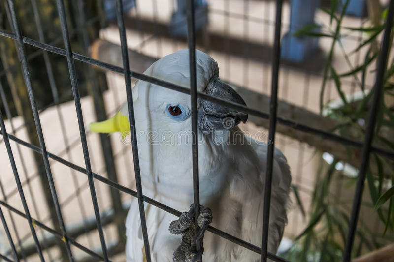 White parrot in captivity. Portrait of a white parrot in captivity on Fuerteventura, Spain royalty free stock image