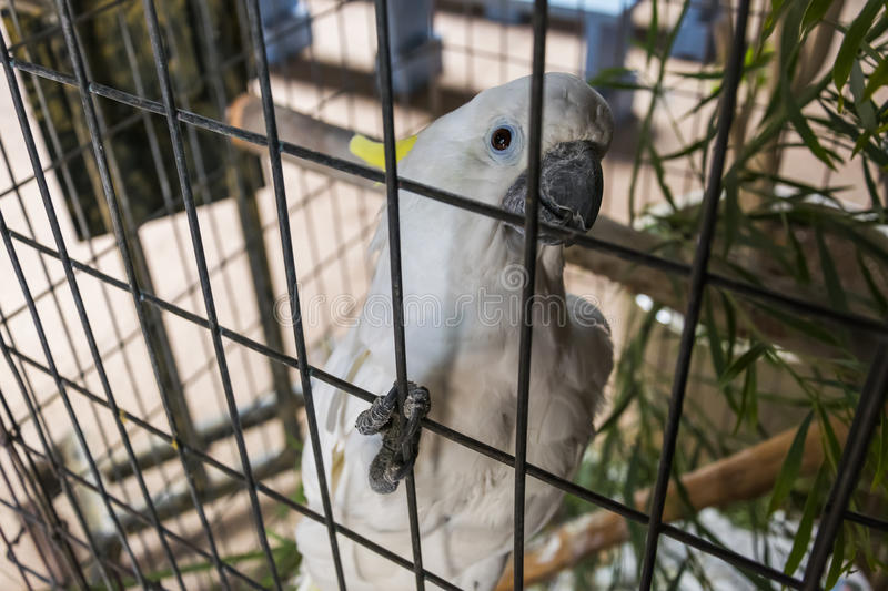 White parrot in captivity. Portrait of a white parrot in captivity on Fuerteventura, Spain stock photography