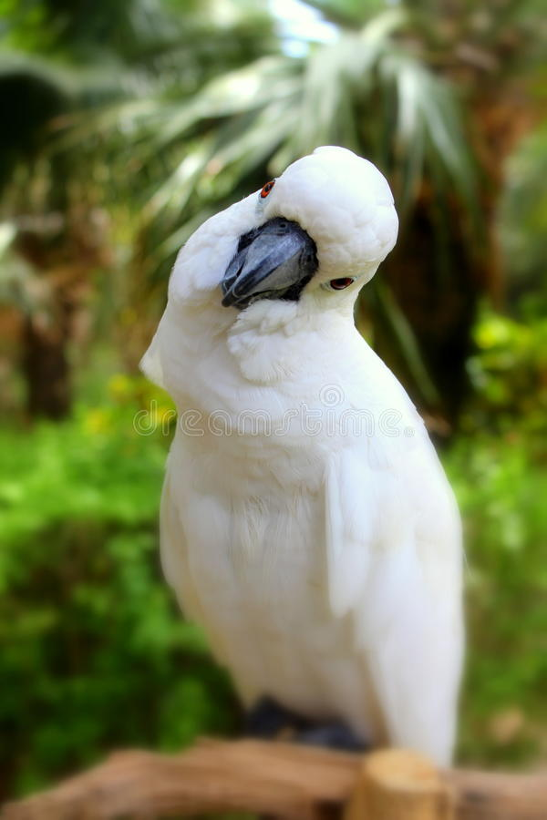 White parrot cockatoo royalty free stock image