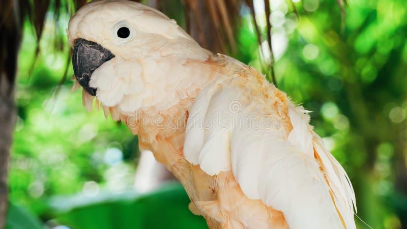 White parrot, cockatoo bird // beautiful white parrot ara 2018.  stock photo
