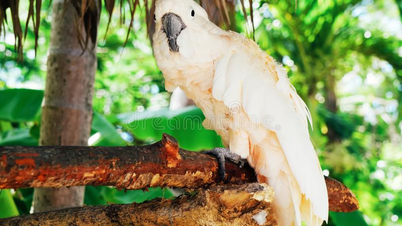 White parrot, cockatoo bird // beautiful white parrot ara 2018.  stock photography