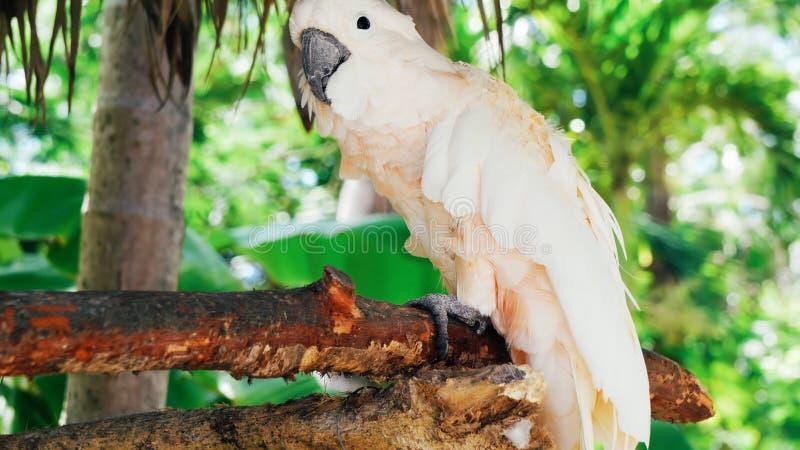 White parrot, cockatoo bird // beautiful white parrot ara 2018.  royalty free stock photo