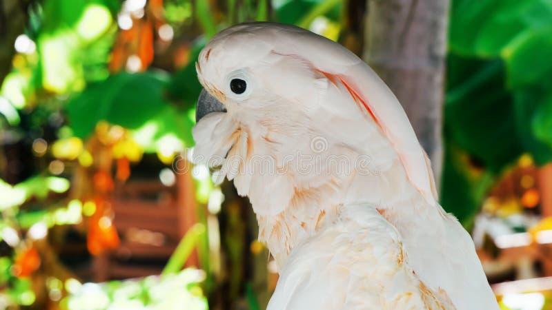 White parrot, cockatoo bird // beautiful white parrot ara 2018.  royalty free stock photos