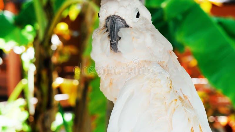 White parrot, cockatoo bird // portrait of a parrot.  stock image