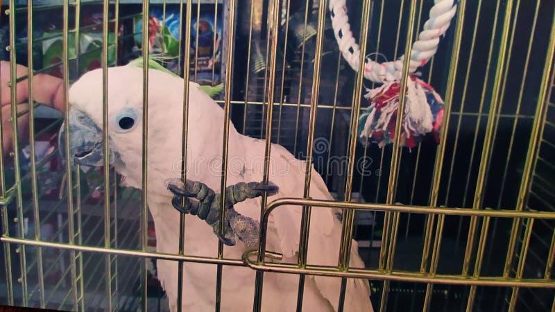 white parrot Jaco Kesha royalty free stock photos