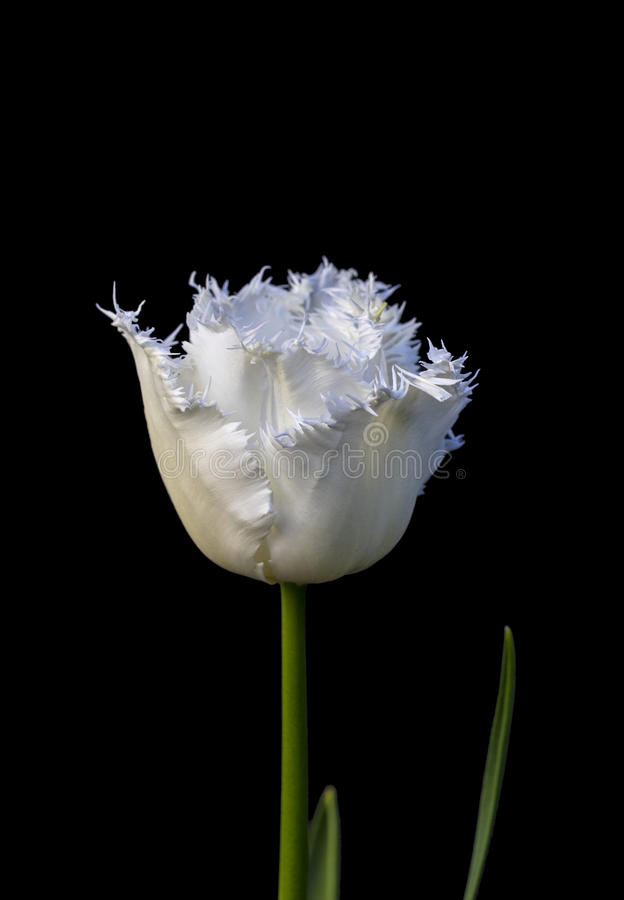 White Parrot Tulip isolated on black background. Single white parrot tulip in full bloom isolated on a black background royalty free stock photography
